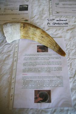 ビオディナミで使用される牛の角
