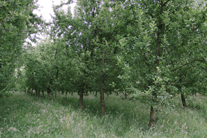 リンゴ畑の一部。草の生え方からも無農薬であることが分かる