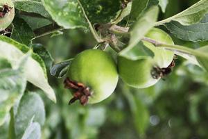 リンゴの実(7月)