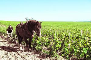 一部の小さい畑では馬で耕している